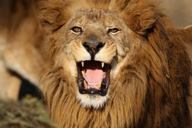 夢占いライオンの夢の意味は正念場?20パターンで診断!