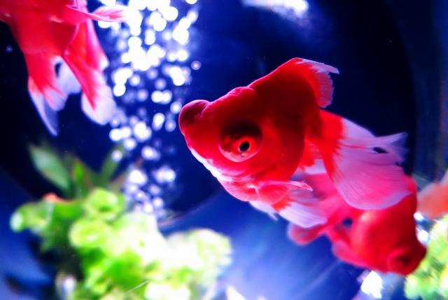 夢占い金魚の夢の意味!恋愛を左右するメッセージ満載20選