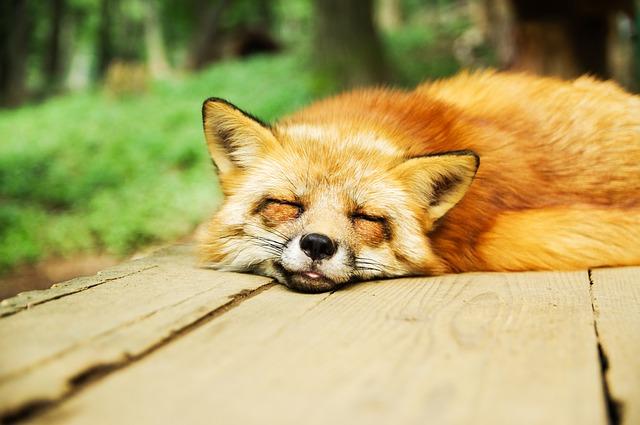 夢占い狐の夢の意味診断!化ける噛まれる等20パターン!