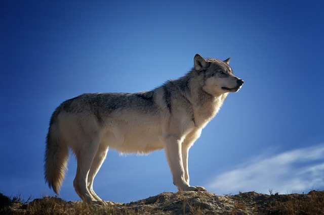 夢占い狼の夢の意味診断!要注意!危険か強い攻撃性の前兆!